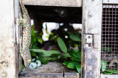 The chameleon in the cage Stock Photography