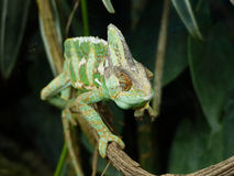 Chameleon / Caméléon Royalty Free Stock Photography