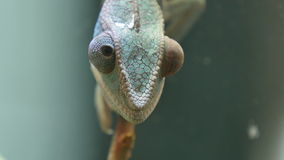Chameleon Camouflage Reptile on a Branch stock video