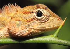 Chameleon. Camouflaged reptile animal Stock Photos