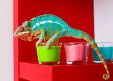 Chameleon and candles on red background Stock Photography