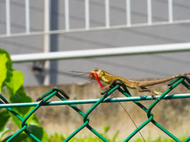 Chameleon Catches a Dragonfly Stock Photography