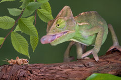 Chameleon catching cricket. A baby veiled chameleon is sticking his tongue out to capture a cricket Stock Photos