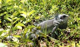 Chameleon in the cerrado Royalty Free Stock Photo
