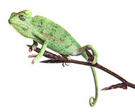 Chameleon - Chamaeleo calyptratus. Chameleons - Chamaeleo calyptratus on a branch isolated on white Royalty Free Stock Photography