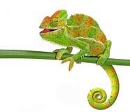 Chameleon royalty free stock image