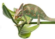 Chameleon. Chamaeleo calyptratus, male, isolated on a white background Royalty Free Stock Photo