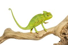 Chameleon, Chamaeleo chameleon. On branch in front of white background royalty free stock photos