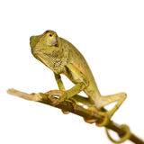 Chameleon Chamaeleo gracilis or dilepis. In front of a white background, we bought him at the Voodoo market in Benin, he has black marks on his nose that come Stock Photo