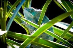 Chameleon (Chamaeleonidae). Chameleon closeup (Chamaeleonidae) camouflaged among the leaves of a plant Royalty Free Stock Photo