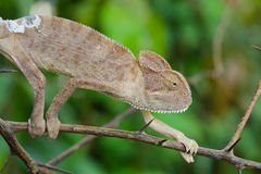Chameleon. S or chamaeleons are a distinctive and highly specialized clade of old world lizards with 202 species described as of June 2015. These species come in Stock Photo