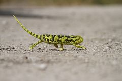 Chameleon Character Royalty Free Stock Image