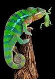 Chameleon che mouthing rana Fotografie Stock