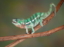 Chameleon chewing cricket Stock Images