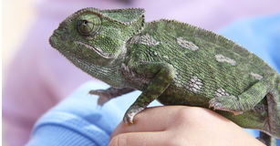 Chameleon on child's hand. Chameleon on a child's hand with shallow depth of field Royalty Free Stock Images
