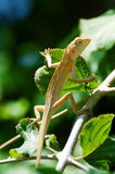Chameleon climb trees Stock Photos