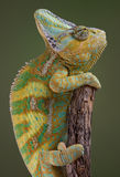 Chameleon climbing Stock Photography