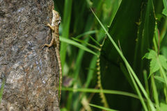 Chameleon climbing the stone with a green grass forest backgroun Royalty Free Stock Photos