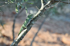 Chameleon climbing tree Royalty Free Stock Image