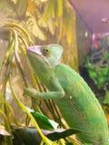 Chameleon climbing on a tree,   chamaeleon Royalty Free Stock Image