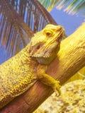 Chameleon climbing on a tree,   chamaeleon Stock Image