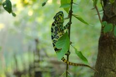 Chameleon is climbing on the tree wallpaper royalty free stock photo