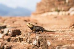 The chameleon Royalty Free Stock Image