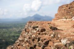The chameleon Royalty Free Stock Photos
