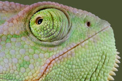 Chameleon close-up. A veiled chameleon is shot close-up Royalty Free Stock Photos