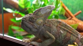 Chameleon close up. Cute chameleon close up, Ekaterinburg zoo, Russia stock video