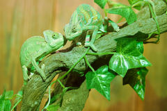 Chameleon. The close-up of two chameleon on tree trunk. Scientific name: Veiled chameleon Royalty Free Stock Photo