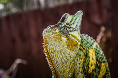 Chameleon close up Royalty Free Stock Photos