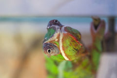 Chameleon close view. Chameleon is looking very close Royalty Free Stock Photography