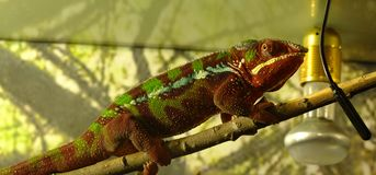 Chameleon closeup on branch with background Stock Images
