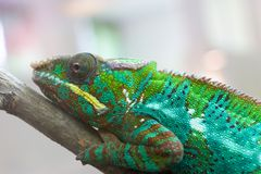 Chameleon closeup 1 stock photo
