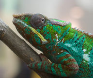 Chameleon closeup Royalty Free Stock Images
