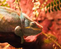Chameleon color sits n royalty free stock photography