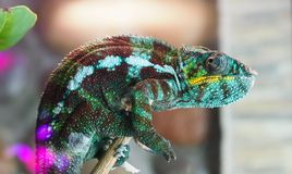 Chameleon color sits n stock photography