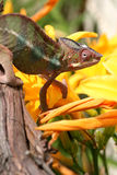 Panther Chameleon with flowers  Stock Photo
