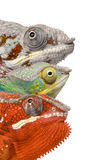Chameleon colorido na frente do fundo branco Imagem de Stock