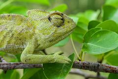 Chameleon in colors stock image