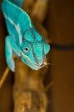 Chameleon con il grillo Fotografie Stock