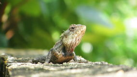 Chameleon on a concrete wall Royalty Free Stock Photography