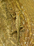 Chameleon on Coral tree Royalty Free Stock Photos