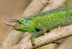 Chameleon cornuto Fotografie Stock Libere da Diritti