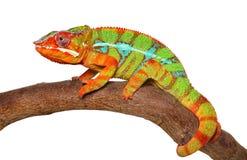 Chameleon crawling isolated on white background. Chameleon crawling on branch isolated on white background. Studio shooting stock photo