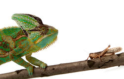 Chameleon and cricket Royalty Free Stock Photography