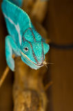 Chameleon with Cricket stock photos
