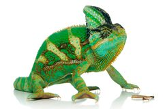 Chameleon and cricket's leg. Isolated over white background Royalty Free Stock Images