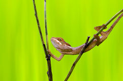 Chameleon crossing branches Royalty Free Stock Images
